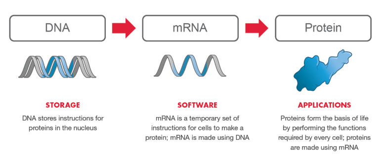 Moderna mRNA info graphic